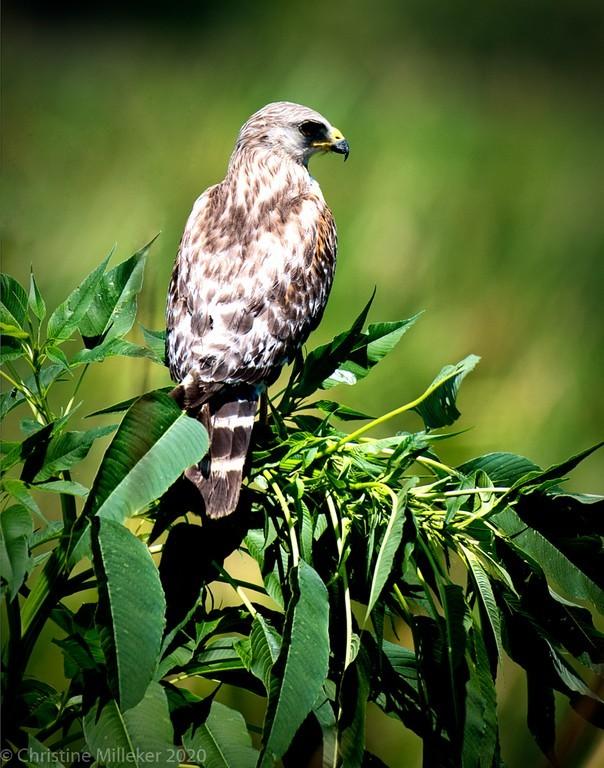 Vigilant Hawk