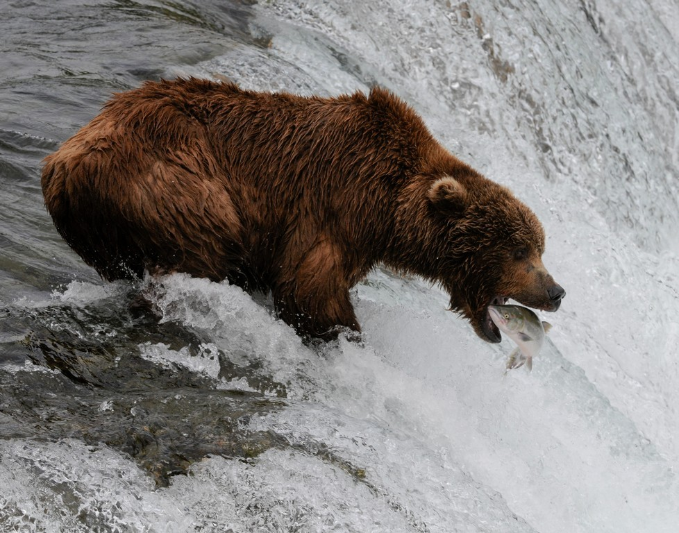 Grizzly, Brooks Falls, Alaska