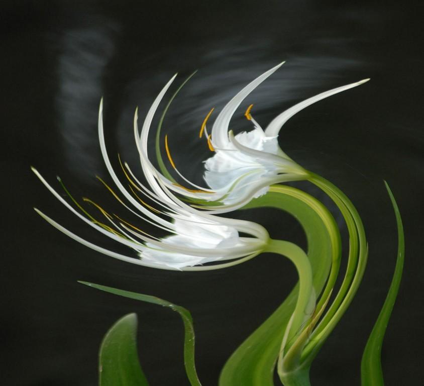 My Dancing Lilies