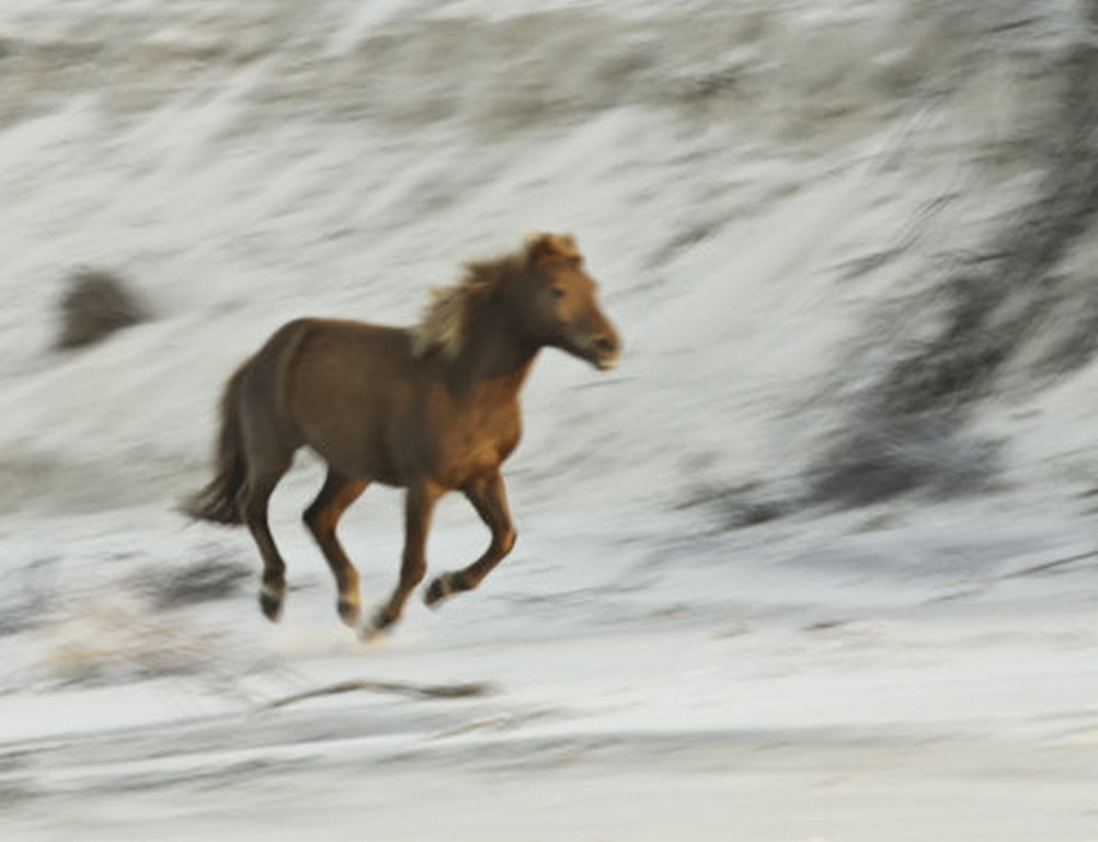 Galloping Chincoteague Pony from a Boat